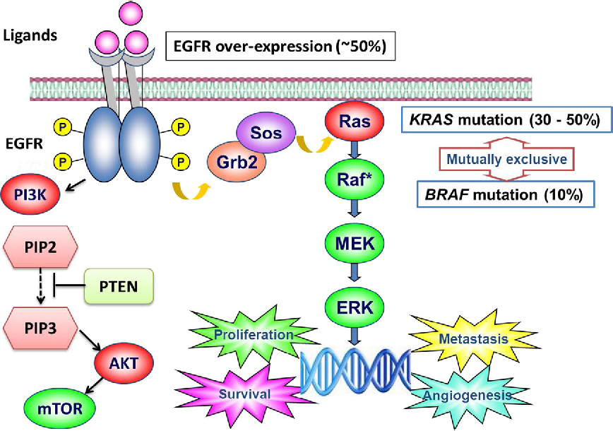 Figure 1 From Targeting Braf Mutant Metastatic Colorectal Cancer Clinical Implications And Emerging Therapeutic Strategies Semantic Scholar