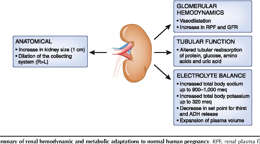 PDF] Obstetric nephrology: renal hemodynamic and metabolic