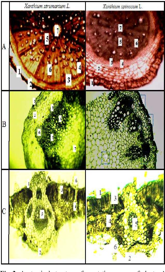 PDF] Morphology, Anatomy, Chlorogenic Acid Content and