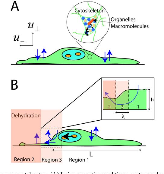 PDF] Animal cell hydraulics  - Semantic Scholar