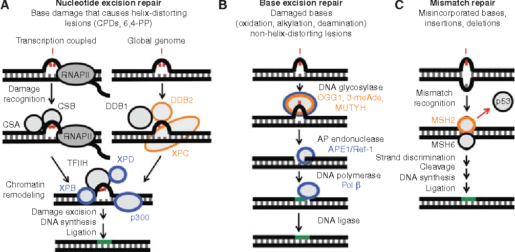 Figure 1 from p53 in the DNA-Damage-Repair Process