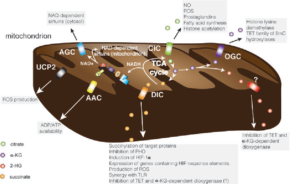 Figure 5: Overview of the mitochondrial carriers and related TCA cycle intermediates as inflammatory signals discussed in the corresponding sections of the text. Green, violet, red, orange, yellow, black and blue rectangles indicate the CIC, OGC, unknown, DIC, AAC, UCP and AGC carriers, respectively. Green, violet, red, orange circles indicate the citrate, isocitrate, α-ketoglutarate, 2-hydroxyglutarate and succinate, respectively. Coloured shapes indicate the respiratory chain. Specific carrier still unknown is indicated with '?'. AAC, adenine-nucleotide carrier; AGC, aspartate/ glutamate carrier; CIC, citrate carrier; DIC, dicarboxylate carrier; OGC, oxoglutarate carrier; UCP2, uncoupling protein 2.