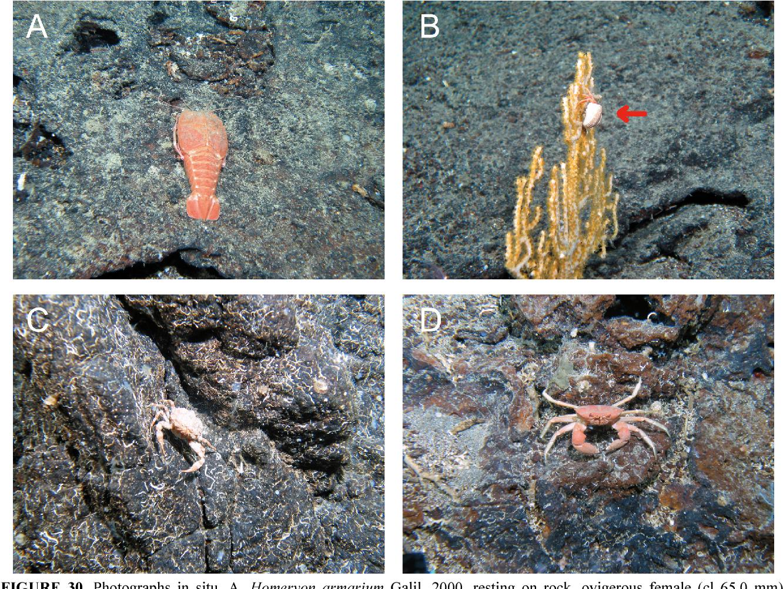 Figure 30 from Deep-Sea decapod crustaceans (Caridea