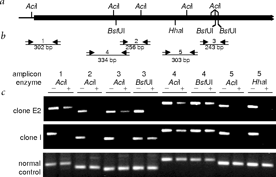 Fig. 3 Methylation patterns of bovine Xist in the hearts of a normal control and deceased clones E2 and I. a, Diagram showing 11 putative methylation sites cleavable by the methylation-sensitive restriction enzymes AciI, BstUI and HhaI, which were identified upstream of Xist and in exon 1 (black bar). b, Five pairs of primers were designed to generate amplicons (sizes as shown) containing all putative methylation sites. Amplicons 3, 4 and 5 contain restriction sites for two different enzymes; thus, the five amplicons yielded eight distinct methylation-sensitive PCR patterns. c, Methylation-sensitive PCR. The amplicon numbers and the enzymes used before PCR amplification are as shown. In the normal control, the intensity of all five PCR products resulting from the eight possible digestion combinations were indistinguishable with (+) or without (–) digestion, indicating that at least one allele of the template DNA was undigested by the enzymes and that all sites of this allele were methylated. By contrast, in deceased clones E2 and I, the intensity of PCR products was reduced (amplicons 1, 3 and 4) or undetectable (amplicons 2 and 5), owing to partial to complete digestion of both alleles of template DNA, indicating hypomethylation of these sites.