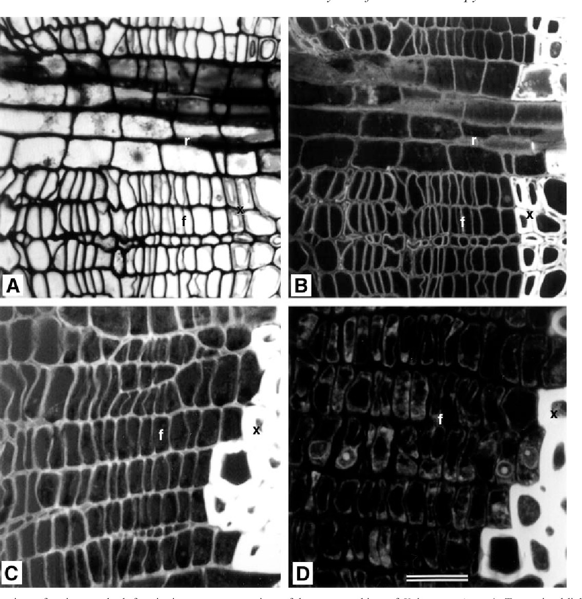 FIG. 1. Comparison of various methods for viewing transverse sections of dormant cambium of Kalopanax pictus. A, Transmitted-light image of a 3 mm thick section of an epoxy-embedded specimen stained with safranin. B, Confocal image of the section in A viewed with incident-light excitation by the helium neon laser (543 nm) and the long-pass ®lter (LP; 590 nm); the primary walls of cambial cells are bright and the cell lumens are dark. C, Confocal image of a hand-cut section, stained with safranin and viewed under the same conditions as in B. D, Confocal image of a hand-cut section, without staining, viewed with excitation by the argon ion laser (488 nm) and the band-pass ®lter (BP; 515±565 nm). In D the primary walls of cambial cells cannot be seen but ¯uorescence images of both the nuclei and the cytoplasm are visible. The section shown in A and B was from a specimen that had been ®xed in 4% glutaraldehyde and the sections shown in C and D were from specimens ®xed in FAA. f