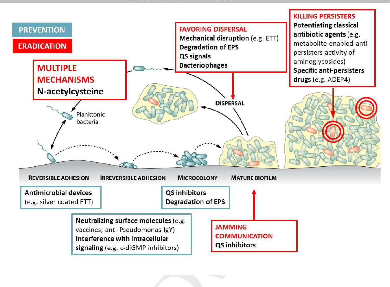 Figure 2 from The effect of N-acetylcysteine on biofilms