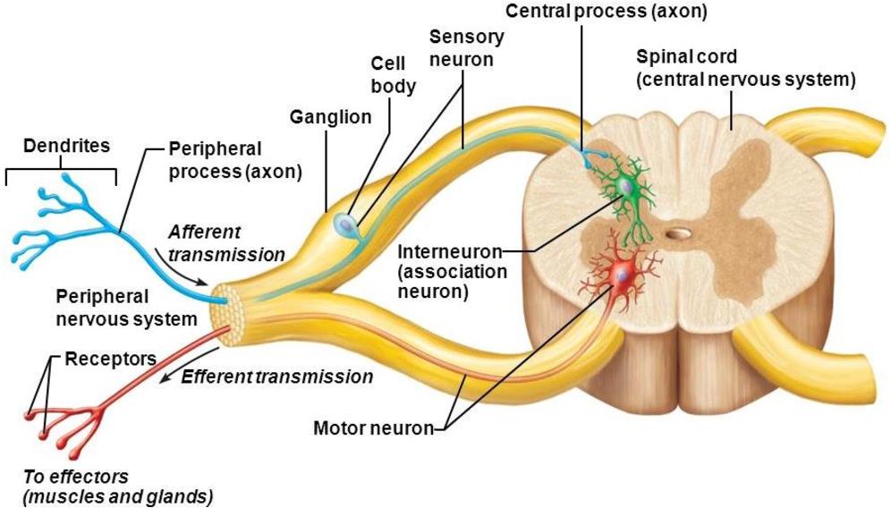 [PDF] Stimulation and Sensitization of Adult Mouse Dorsal ...