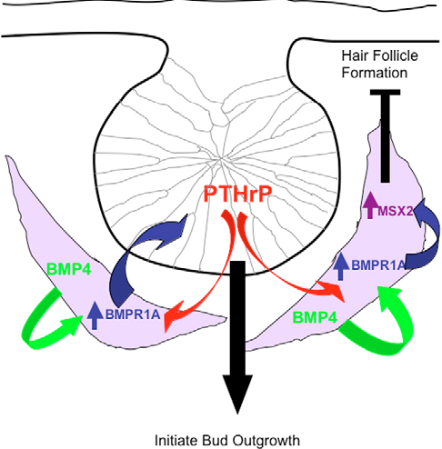 Figure 8 from BMP4 and PTHrP interact to stimulate ductal outgrowth during  embryonic mammary development and to inhibit hair follicle induction |  Semantic Scholar