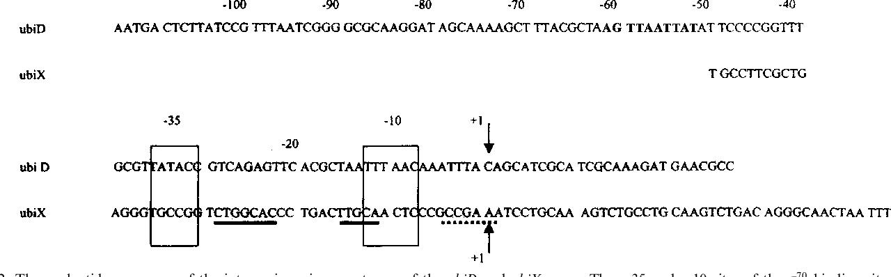 Regulation of the isofunctional genes ubiD and ubiX of the