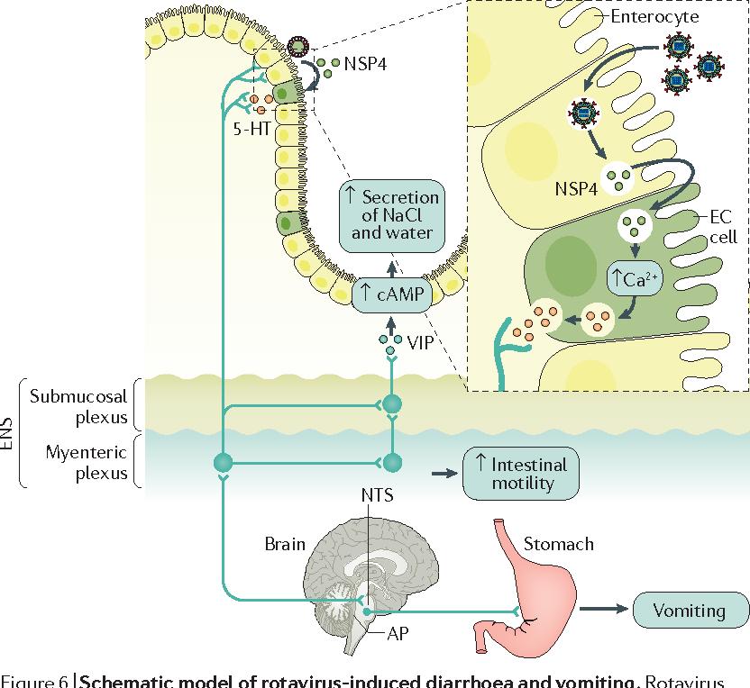 rotavirus infection cycle