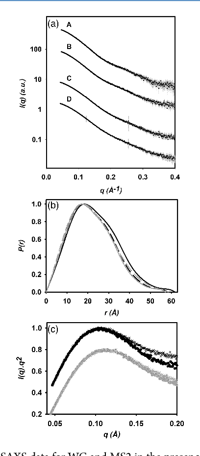 Figure 7. (a) SAXS data for WC and MS2 in the presence and absence of ligand. SAXS intensity profile I(q) as a function of the magnitude of the scattering vector q. Error bars indicate the mean, plus or minus one standard deviation. Line A: WC-DCA; B: free WC; C: MS2-DCA complex; D: free MS2. (b) Pair-distance distribution function (P(r)) for WC and MS2 SAXS data. WC-DCA: black solid line; free WC: black dashed line; MS2-DCA: gray solid line; free MS2: gray dashed line. (c) Kratky plot for WC and MS2 SAXS data. WC-DCA: black circles; free WC: black crosses; MS2-DCA: gray circles; free MS2: gray crosses.