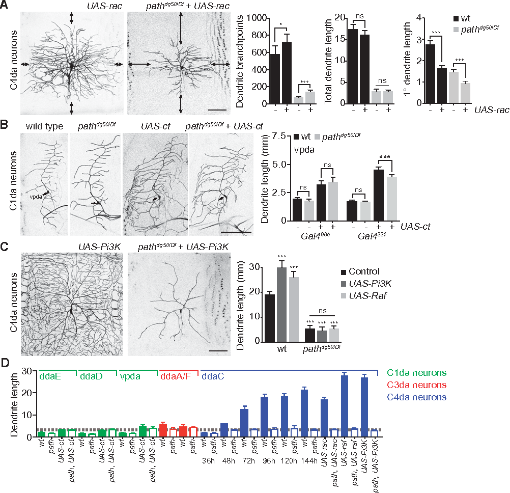 Figure 2 from The SLC36 transporter Pathetic is required for extreme  dendrite growth in Drosophila sensory neurons.