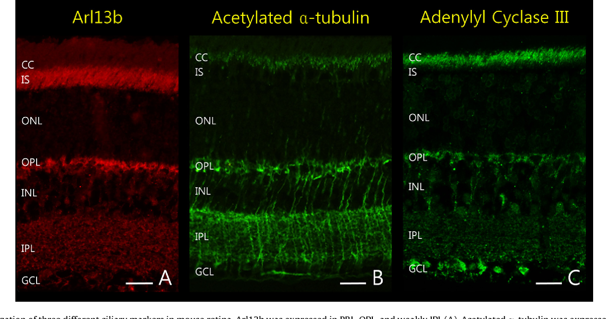 Figure 1 from Localization of primary cilia in mouse retina