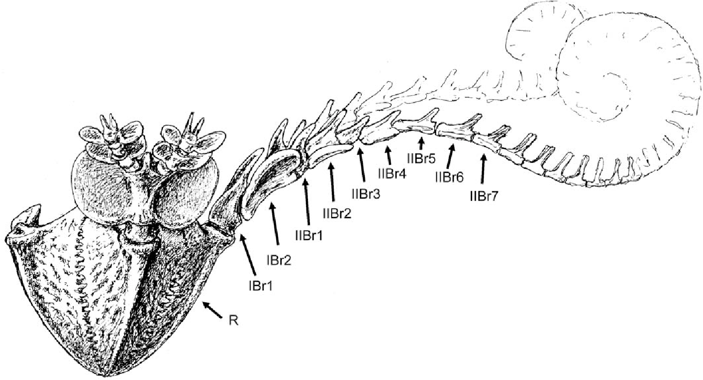 Fig. 1. Restoration of Saccocoma tenella (Goldfuss, 1831). Some arms or their distal parts omitted for clarity (drawing by Jerzy Dzik based on a model con− structed by the author).