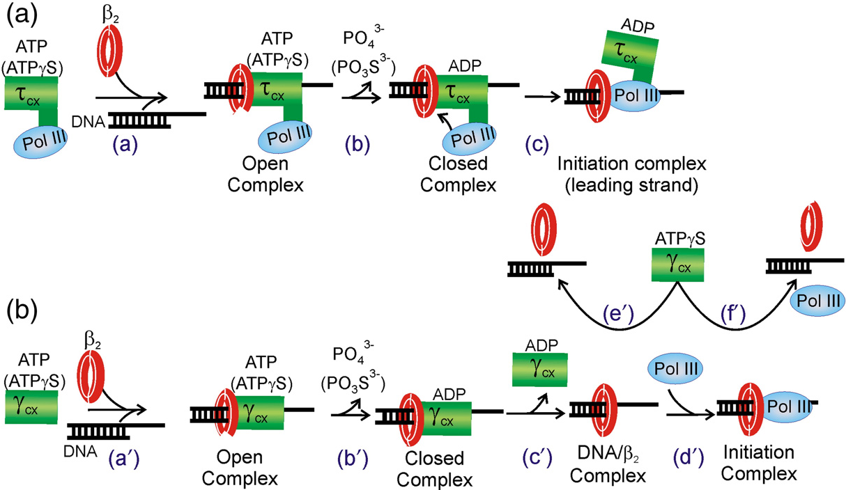 Fig. 9. Models for ATPγS-driven initiation complex formation and disassembly. The reaction steps other than ATPγS hydrolysis are discussed and cited in the text. (a) Model for initiation complex formation by the τ-complex. Step a represents ATP (or ATPγS)-bound τ-complex binding the primer/template DNA and the β2 in an open conformation. Step b represents nucleotide hydrolysis and closing of the β2 ring to form the closed conformation. Steps a through b are 1000-fold faster with ATP thanwith ATPγS. Step c represents the chaperoned binding of Pol III to the loaded β2 to form an initiation complex. This initiation complex (when configured as a leading strand complex) is protected from unloading by the τ-complex, which remains associated. (b) Model for initiation complex formation and disassembly by the γ3 complex. Steps a′ and b′ are the same as the analogous steps for τ-complex. Step c′ represents the γ3 complex releasing β2 and dissociating, leaving a β2/DNA complex. Step d′ represents binding of Pol III to complete initiation complex formation. Steps e′ and f′ represent unloading of β2 and disassembly of the unprotected initiation complex, respectively, by an ATPγS-bound γ3 complex. An ATP-bound γ3 complex could dissociate the complexes by steps analogous to e′ and f′, but they would be rapidly replaced by ATP-hydrolysis-driven initiation complex formation (steps a′ through d′).