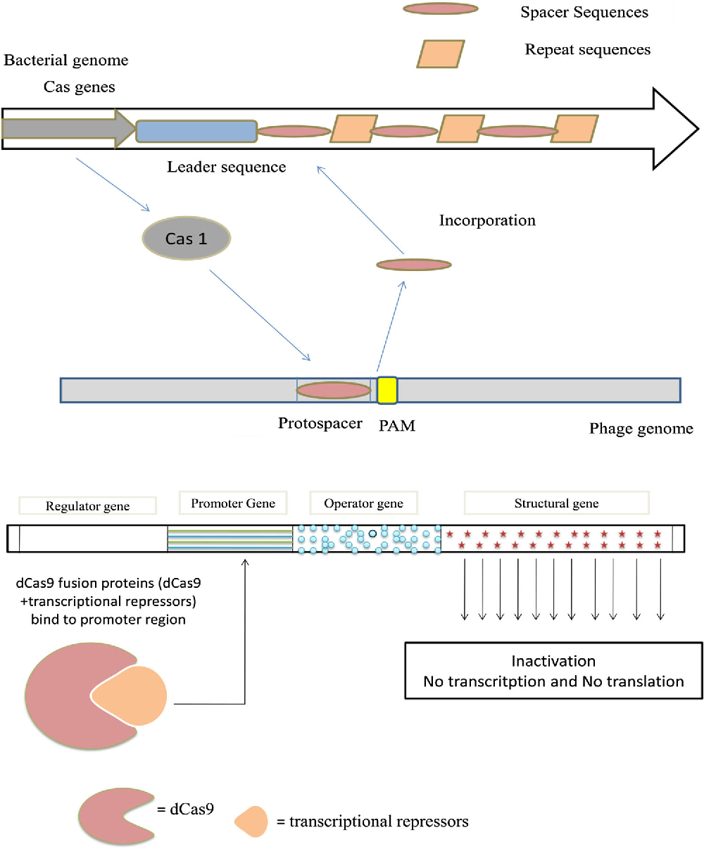 crispr-cas9-mediated genome editing and transcriptional control in yarrowia lipolytica