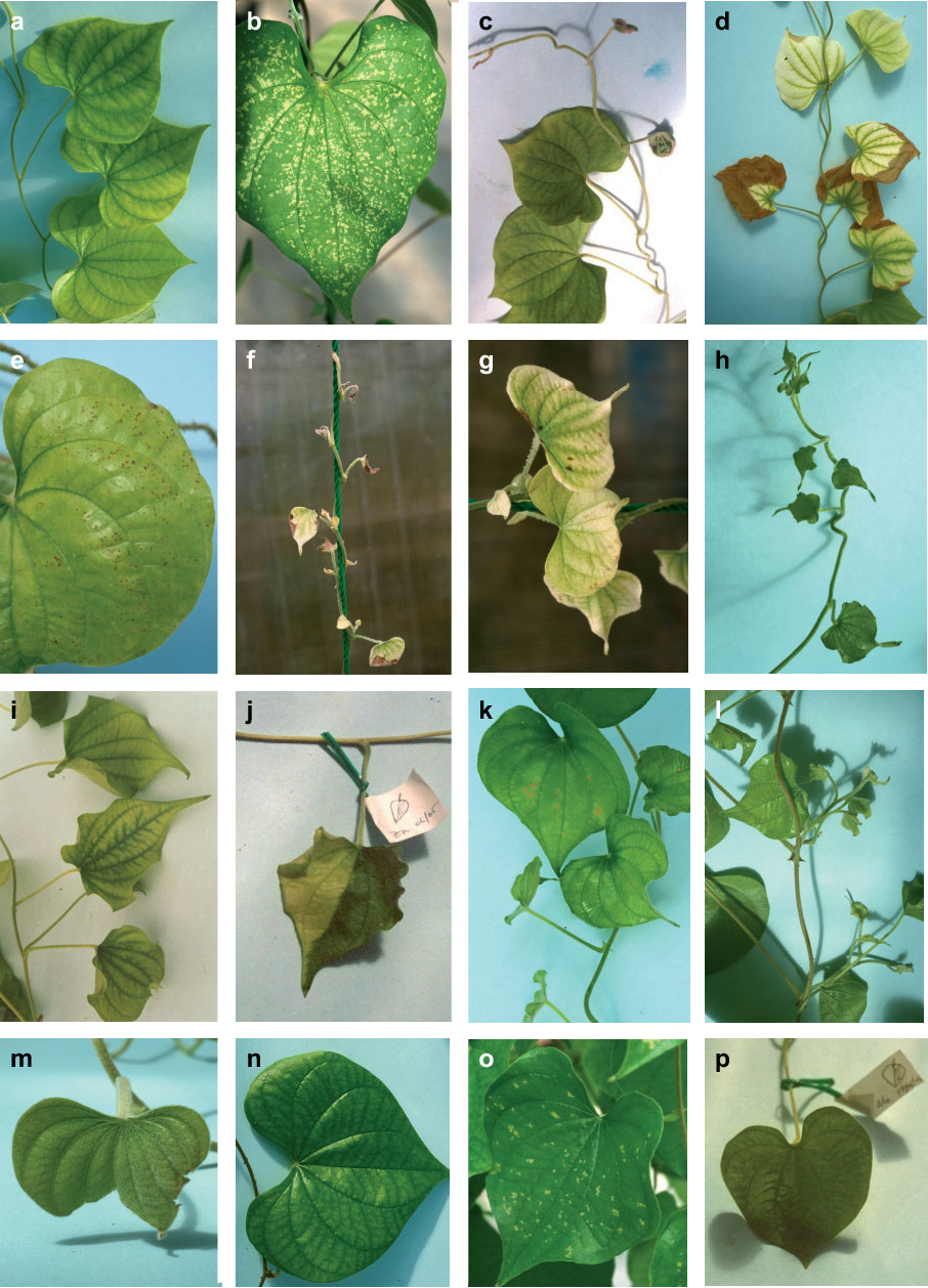 Figure 7 from Nutrient deficiencies in lesser yam (Dioscorea