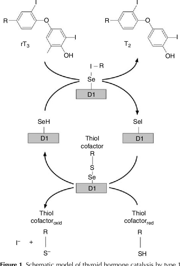 Pdf Deiodinases The Balance Of Thyroid Hormone Type 1