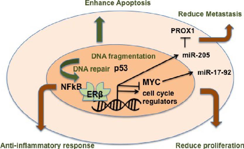 Estrogen Receptor Beta As Target For Colorectal Cancer Prevention Semantic Scholar