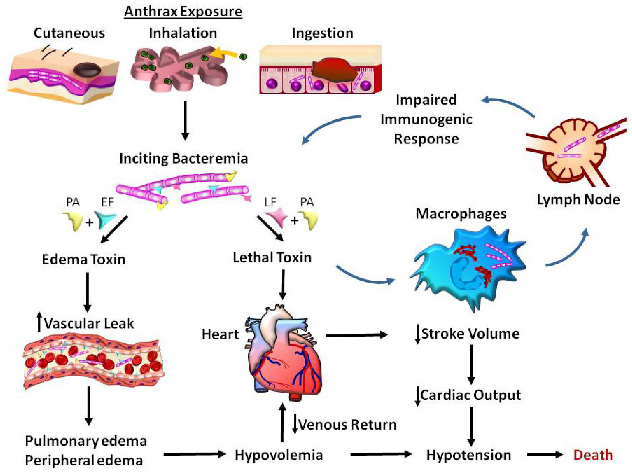 figure 4 from anthrax toxin pathologic effects on the Viral Gastroenteritis Diagram
