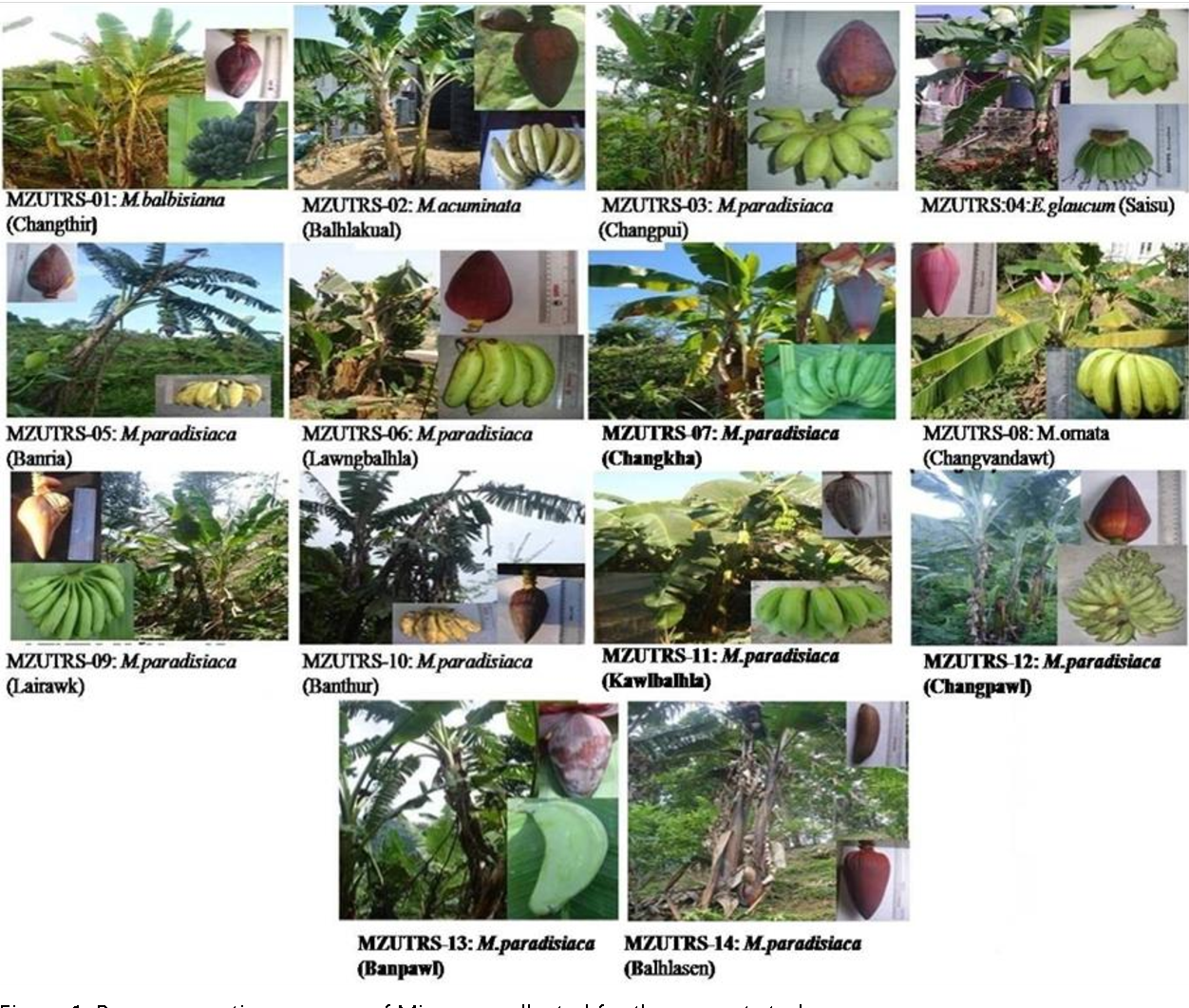Pdf Genome Characterization Of Banana Genetic Resources Of Mizoram India Semantic Scholar