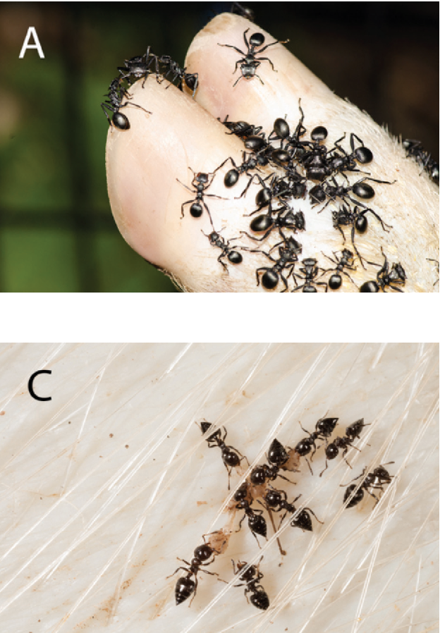 Pdf The Role Of Ants Hymenoptera Formicidae In Forensic Entomology Semantic Scholar