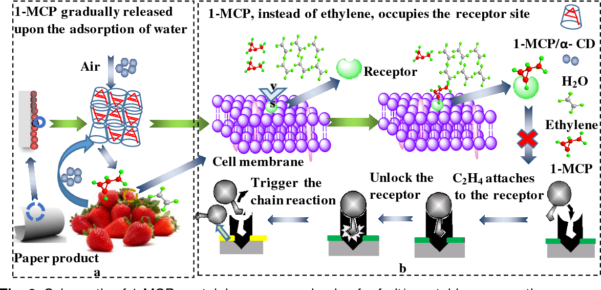 Figure 3 From 1 Methylcyclopropene Mcp Containing Cellulose Paper Packaging For Fresh Fruit And Vegetable Preservation A Review Semantic Scholar
