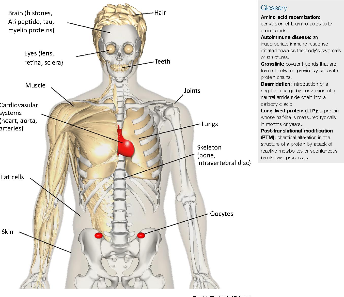 Resultado de imagem para organs ageeing