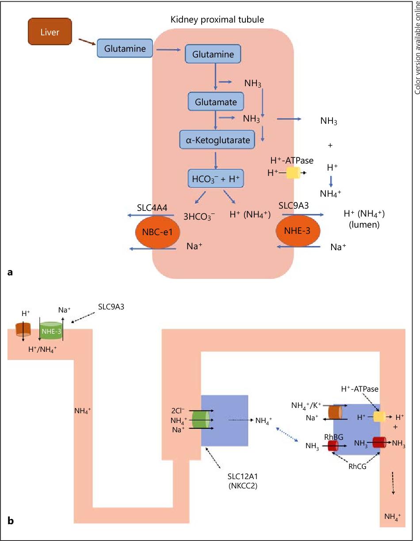 Urine Ammonium Metabolic Acidosis And Progression Of Chronic Kidney Disease Semantic Scholar