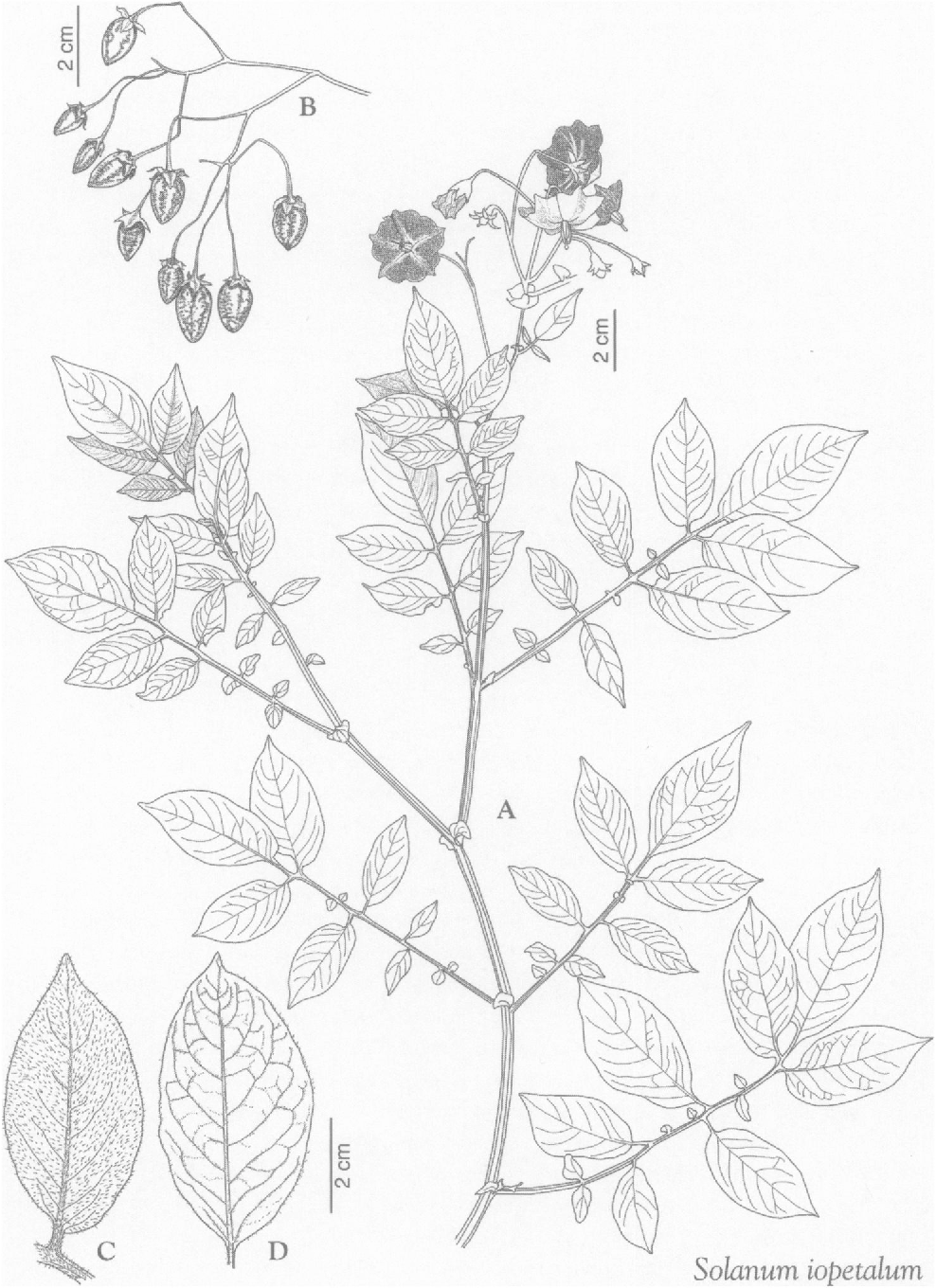 How Do You Draw Floral Diagram Of Solanaceae Family