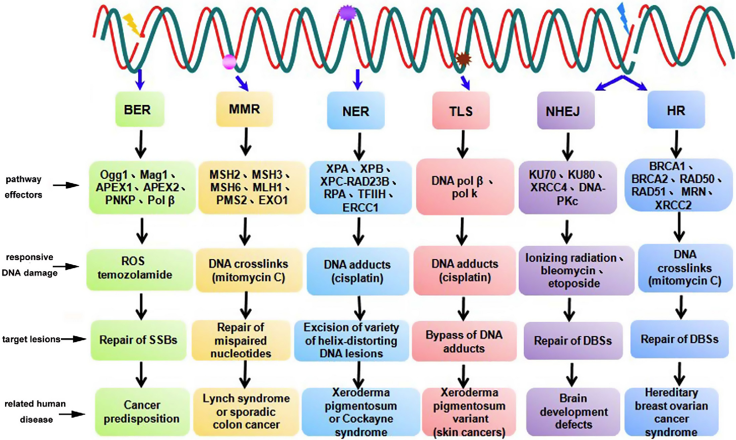 Figure 1 from DNA damage response--a double-edged sword in