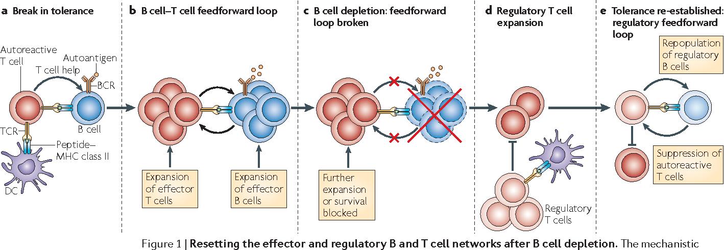 Figure 1 from Effector and regulatory B cells: modulators of