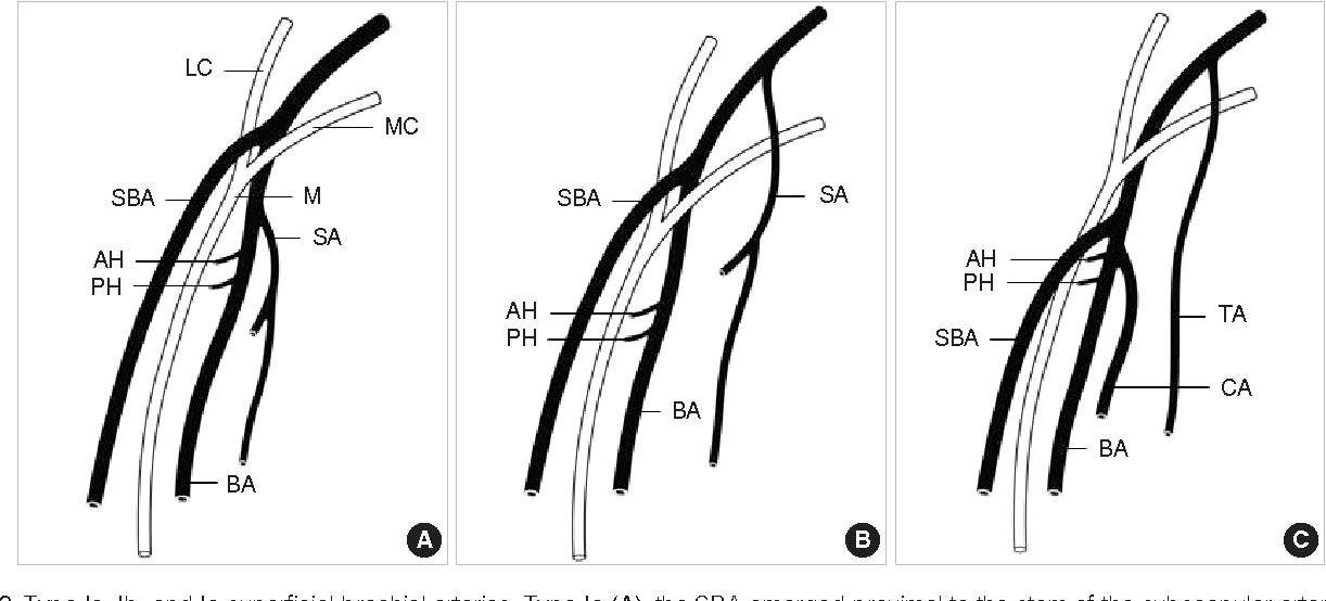 Brachial Artery Cadaver