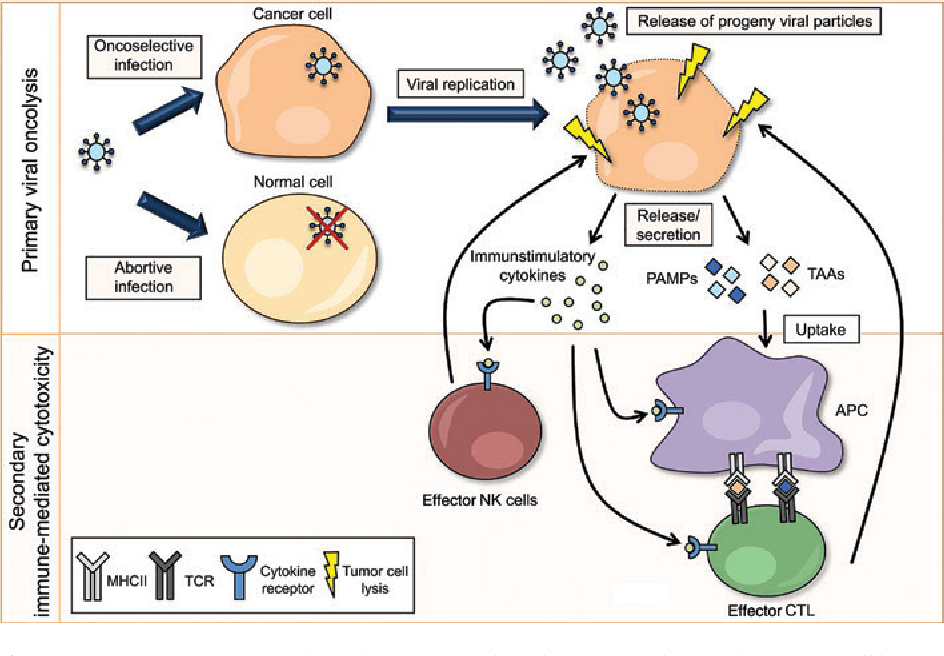 Employing RNA viruses to fight cancer: novel insights into