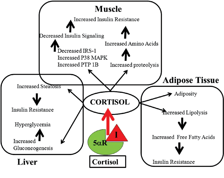 Figure 2 From 5a Reductase Inhibitors Alter Steroid Metabolism And May Contribute To Insulin Resistance Diabetes Metabolic Syndrome And Vascular Disease A Medical Hypothesis Semantic Scholar