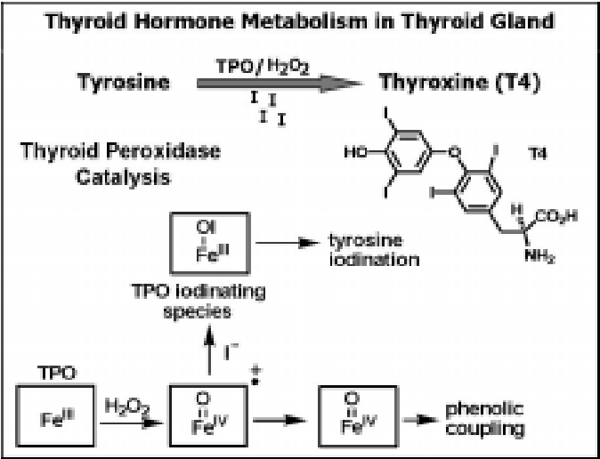Figure 1 From Thyroid Hormone Synthesis And Anti Thyroid Drugs A Bioinorganic Chemistry Approach Semantic Scholar