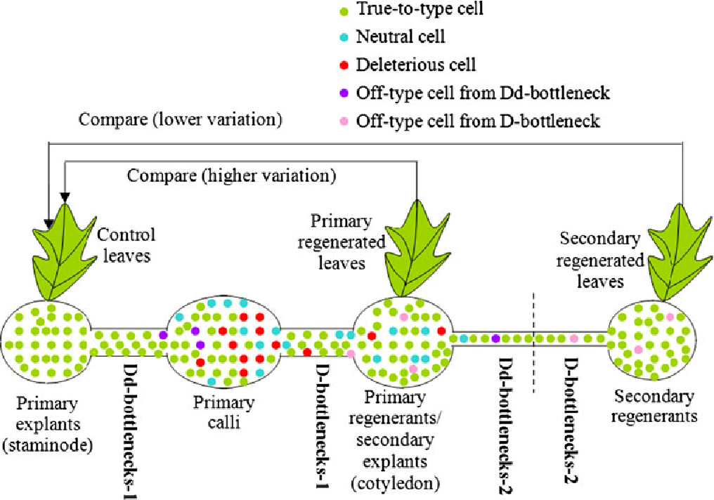 An evolutionary view of plant tissue culture: somaclonal