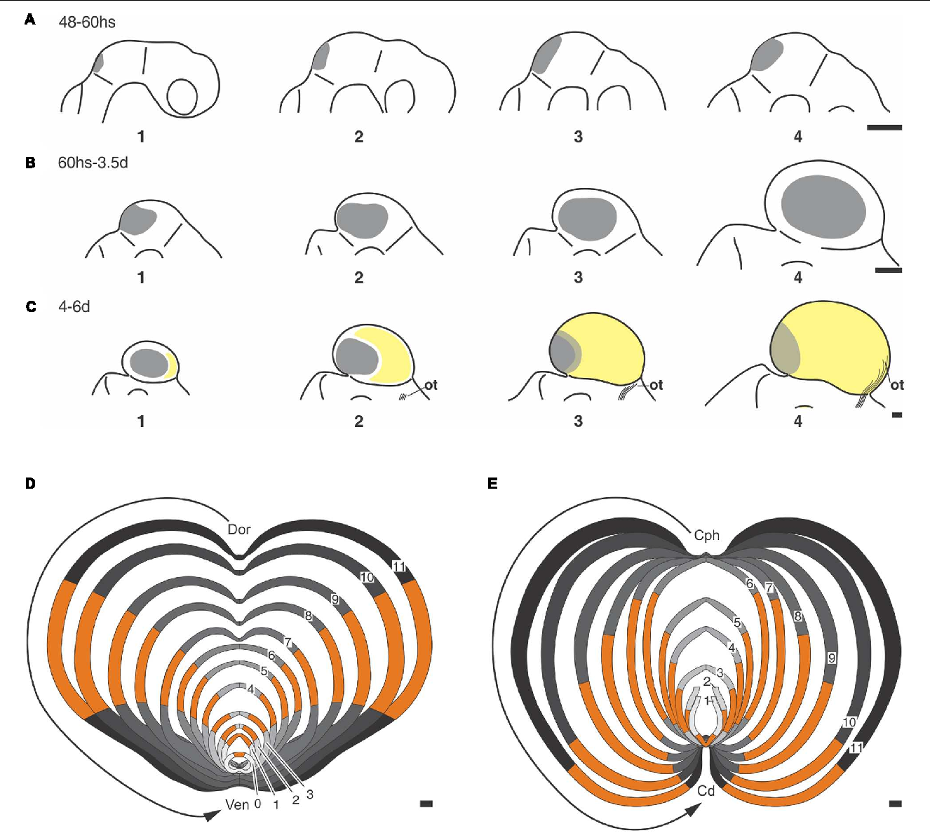 Figure 6 from Morphogenetic and Histogenetic Roles of the
