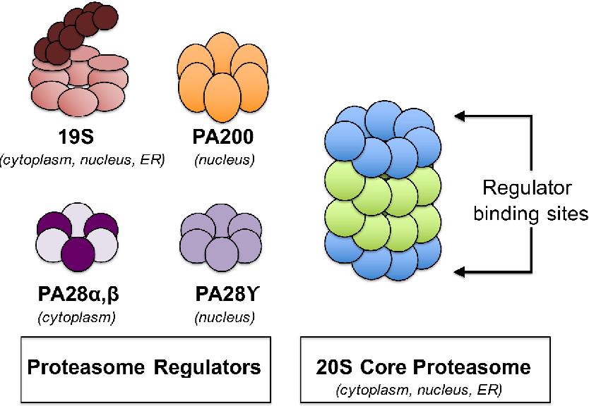 Proteasomi