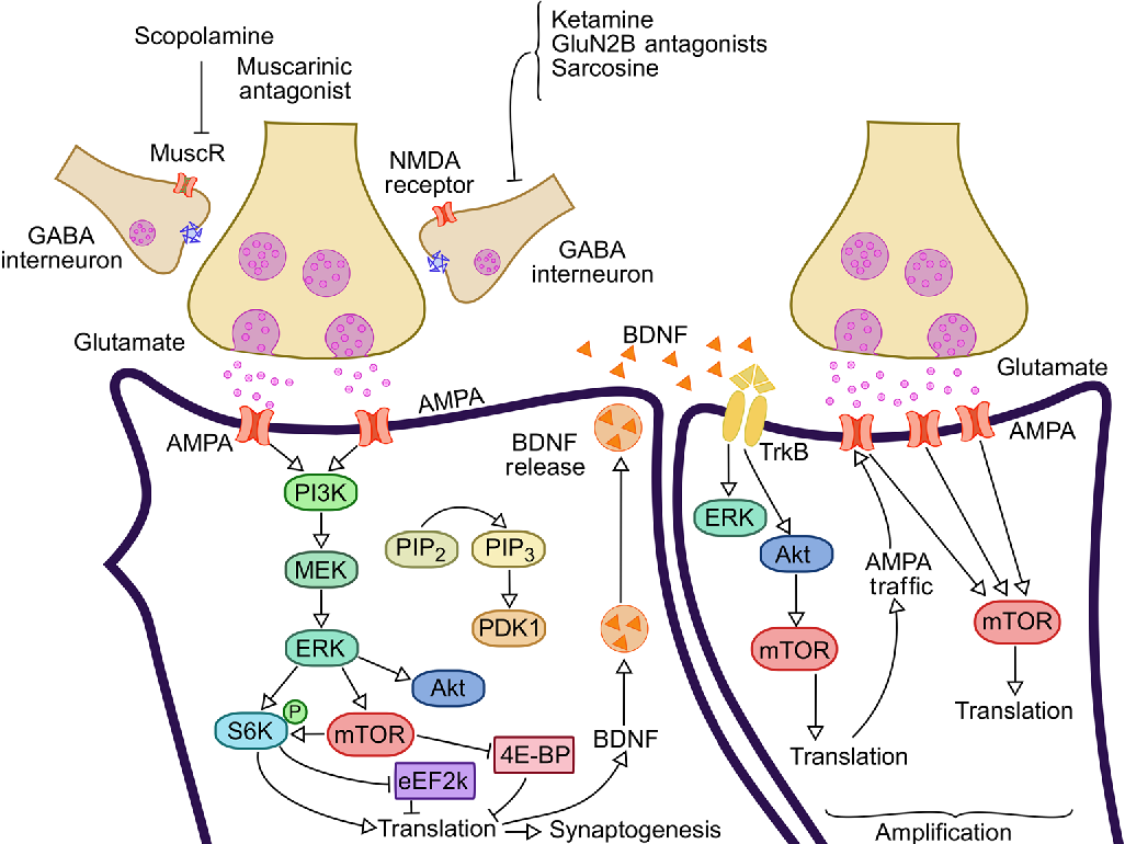 Figure 2 from New perspectives on the involvement of mTOR in