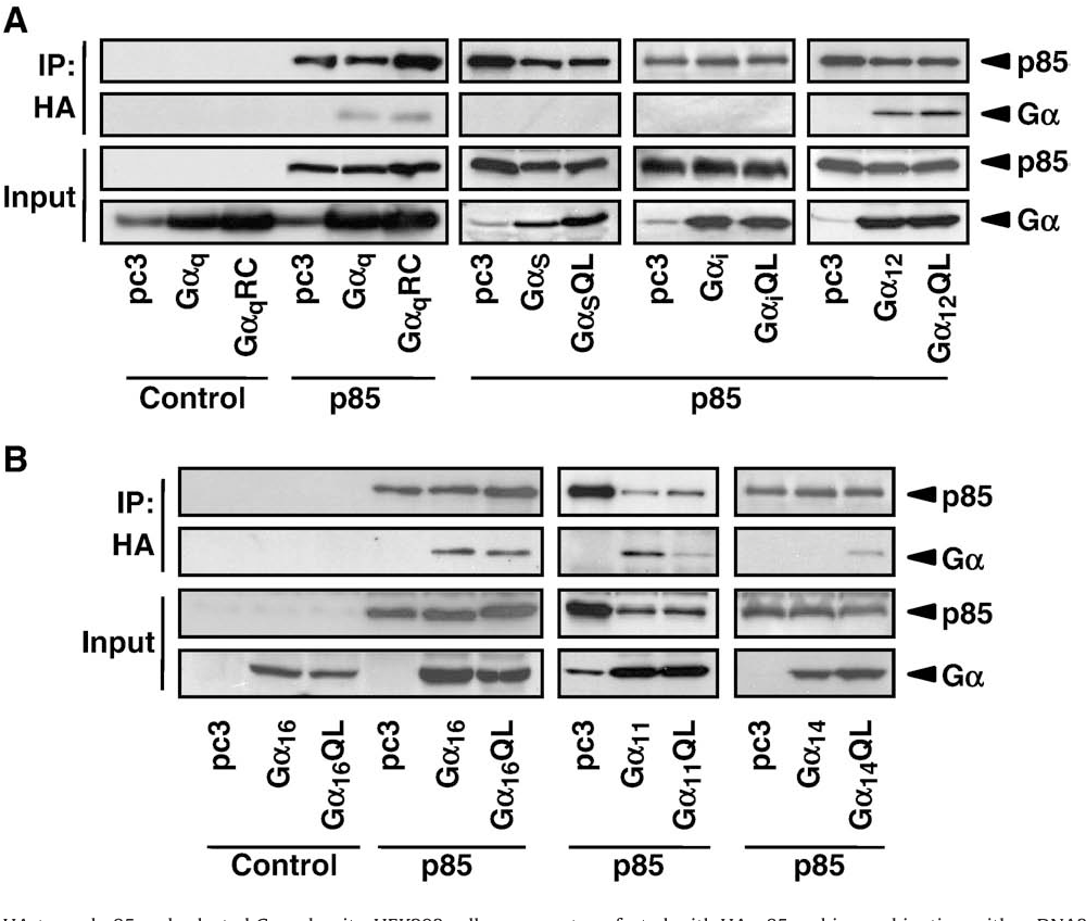 Fig. 1. Interactions between HA-tagged p85 and selected Gα subunits. HEK293 cells were co their constitutively active counterparts. Cell lysates from the transfectants were immunoprec and detected by Western blotting with anti-HA and specific antibodies against the Gα pro aliquots of total cell lysates. The immunoblots shown represent one of three sets of indepe