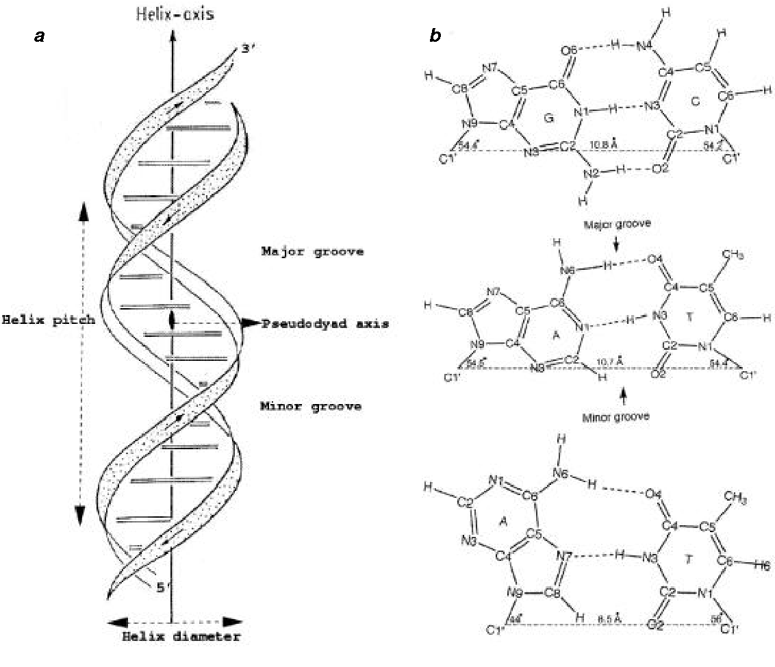 Figure 1 From Dna Structure Revisiting The Watson Crick Double Helix Semantic Scholar