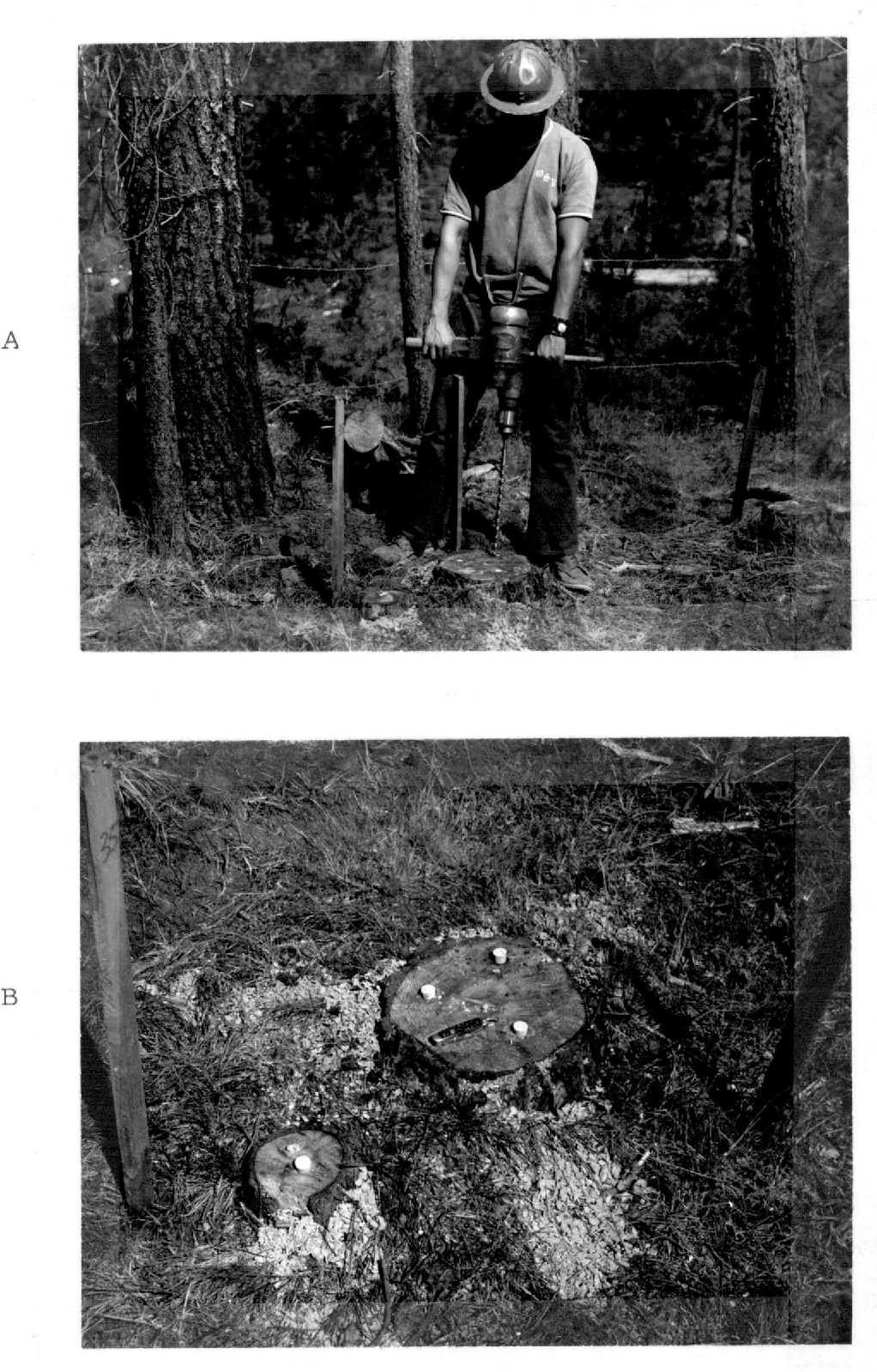 Fig. 11. (A) Drilling holes in a pine stump to accommodate the chemical treatments. (B) Drill holes have been closed with cork stoppers following treatment.