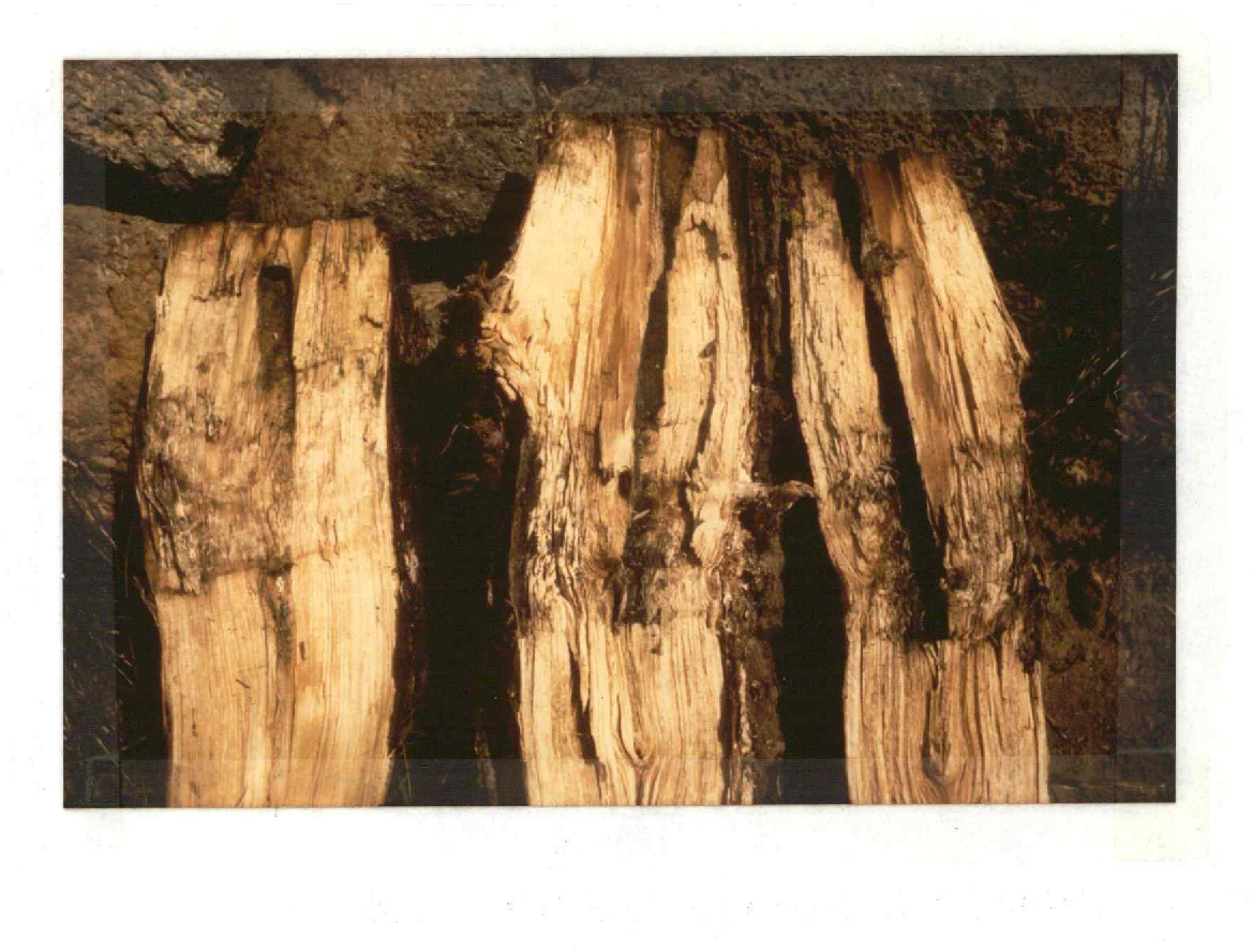 Fig. 22. Dissected pine stumps which received treatment with chemical fumigants one year prior to excavation. Note the sporulation of Trichoderma fungi