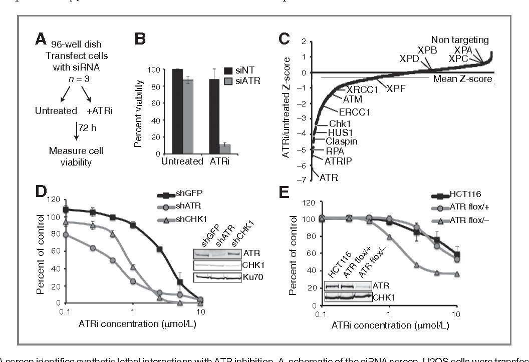 PDF] ATR pathway inhibition is synthetically lethal in