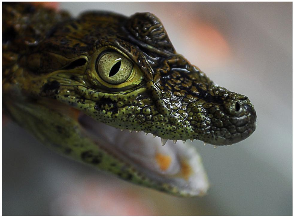 Figure 1 From Isotope Incorporation In Broad Snouted Caimans