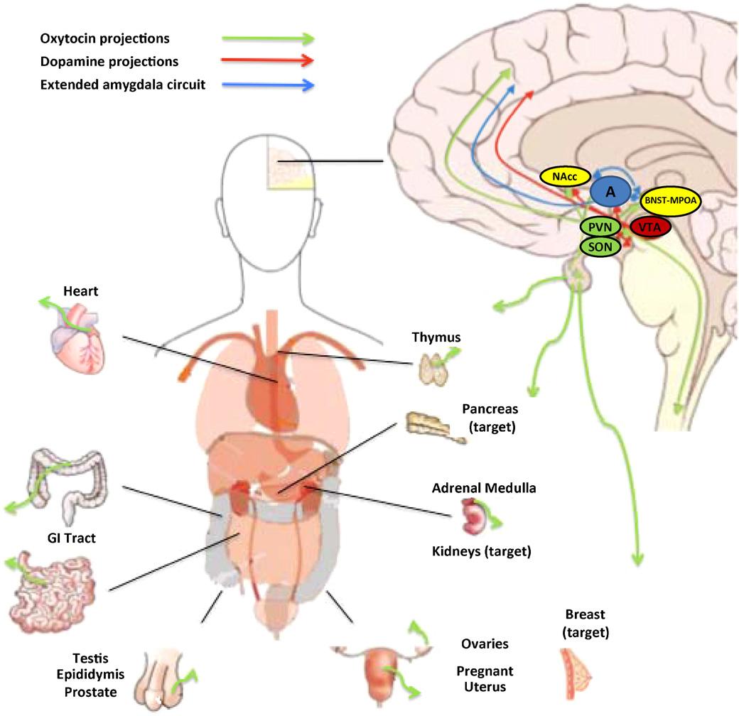 Oxytocin Found To Stimulate Social >> Figure 1 From Oxytocin And Social Motivation Semantic Scholar