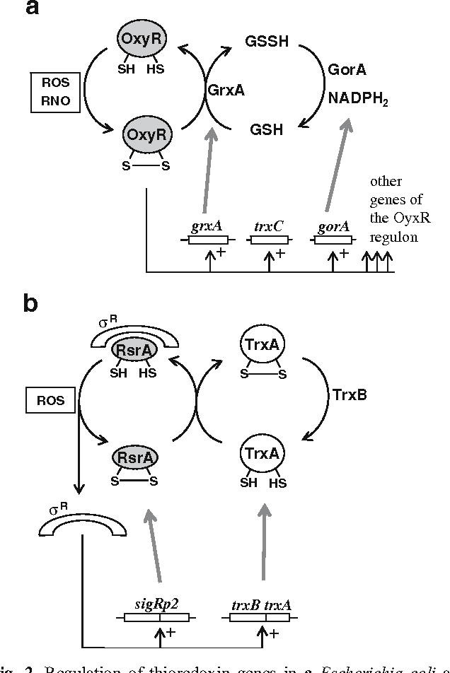 Figure 2 from Thioredoxins in bacteria: functions in