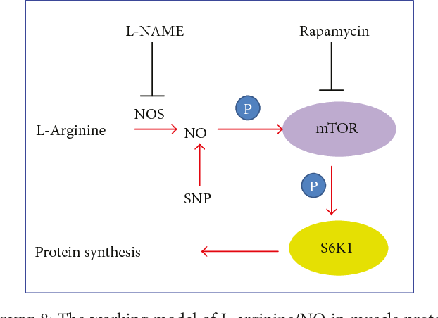 Figure 8 from L-Arginine Enhances Protein Synthesis by