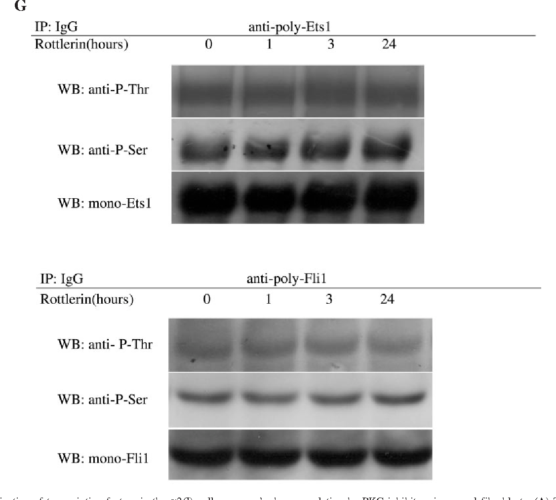 Figure 2. Participation of transcription factors in the a2(I) collagen gene's down-regulation by PKC inhibitors in normal fibroblasts. (A) To determine the amounts of Sp1 or Sp3 in cell lysates, fibroblasts were serum-starved for 24 h and treated with PKC inhibitors for the period indicated. Immunoblotting was performed using anti-Sp1 or Sp3 antibody. The same membrane was then stripped and reprobed with anti-b-actin antibody as a loading control. (B) Dermal fibroblasts were serum-starved for 24 h and treated with PKC inhibitors for 24 h. Cell lysates were immunoprecipitated with anti-Sp1 antibody to examine the phosphorylation levels of Sp1 as described in 'Materials and Methods'. One experiment representative of three independent experiments is shown. Phosphorylated Sp1 levels quantitated by scanning densitometry and corrected for the total level of Sp1 in the same samples are shown relative to the level in untreated cells (1.0). (C and D) For immunoblot analysis, the transient transfection of the Sp1 or Sp3 expression vector in normal dermal fibroblasts was performed as described in 'Materials and Methods'. Twentyfour hours after the transfection, cells were treated with the indicated dose of PKC inhibitors for 72 h. Conditioned media and cell lysates (normalized for protein concentrations as measured with the Bio-Rad reagent) were subjected to immunoblotting with anti-type I collagen antibody and antibody for HA or b-actin, respectively. Type I procollagen protein levels quantitated by scanning densitometry and corrected for the levels of b-actin in the same samples are shown relative to the level in untreated cells (1.0). (E) To determine the amounts of Ets1 or Fli1 in cell lysates, human dermal fibroblasts were serum-starved for 24 h and treated with rottlerin for the period indicated. Immunoblotting was performed using anti-Ets1 or Fli1 antibody. The same membrane was then stripped and reprobed with anti-bactin antibody as a loading control. (F) Cell lysates were prepared from normal fibroblasts in the presence or absence of rottlerin for 12 h and incubated with the COLEBS oligo or the COL-EBS-M oligo as described under 'Materials and Methods'. Proteins bound to these nucleotides were isolated with streptavidin-agarose beads, and Sp1, Ets1 or Fli1 was detected by immunoblotting. The levels of Ets1 (open bars) and Fli1 (closed bars) bound to COL-EBS oligo quantitated by scanning densitometry are shown relative to the level in untreated cells (1.0). The mean – SE from four independent experiments is presented. *P < 0.05 as compared with the value in untreated cells. EBS, Ets-binding site. (G) Ets1 or Fli1 phosphorylation on threonine (top panel) or serine (middle panel) was determined in fibroblasts treated with rottlerin for the indicated periods of time. Ets1 or Fli1 levels were determined using monoclonal anti-Ets1 or Fli1 antibody on the same filter (bottom panel).